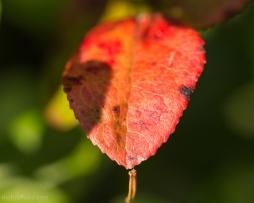 Photo of blueberry leaf