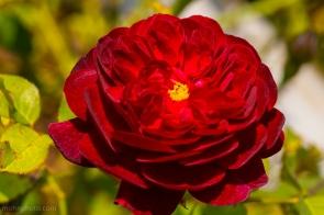 RødBlomst