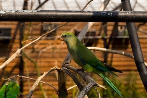Papegøyen