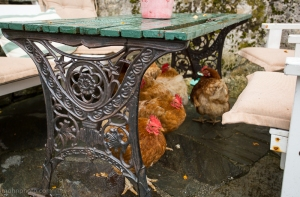 Høner skjuler seg for regnet Urtemakeriet