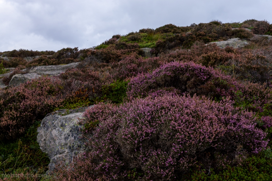 Last Purple Heather in Sotra Øygarden Norway