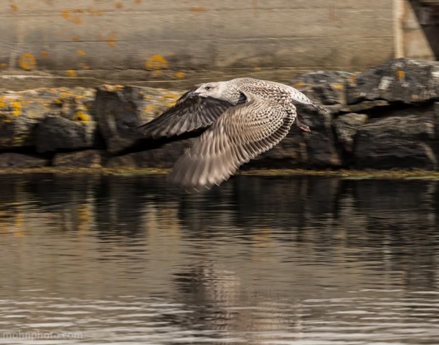 Seagull Pan