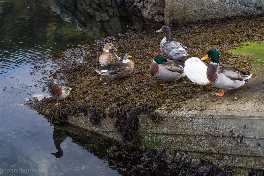 Hanging Ducks