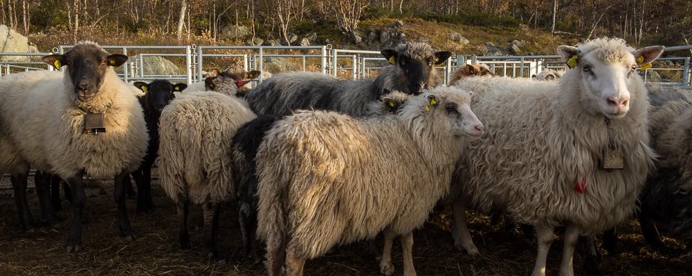 Sheeps in golden light